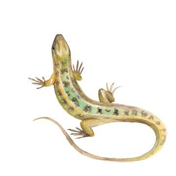 Lizard. Watercolor illustration in vector