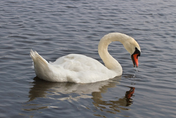 Swans on the water.