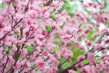 Sakura with shallow depth of field