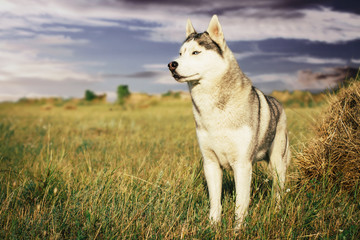 Portrait of a dog on the background of haystacks in rural areas. Siberian Husky with blue eyes.