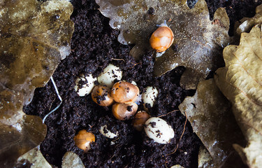 Little new-born snails hatch from the eggs