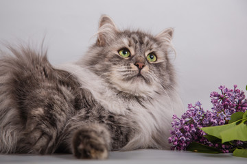 Siberian Neva Masquerade cat on gray background. Branch of lilac.