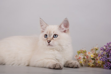 Small Siberian Neva Masquerade kitten lying on gray background. Branch of lilac.