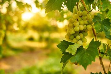 White ripe grape clusters