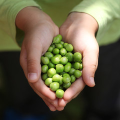 Fresh picked green peas held in boy hand. Square