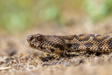 Rock Viper head