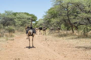 Struzzo in una riserva in Namibia