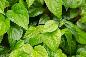 Beautiful fresh Betel Leaf (Piper Betle)