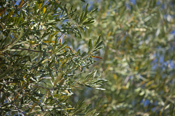 Young green olives on an olive tree in the garden in a hot summer day