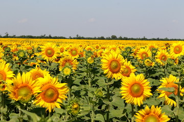 A lot of sunflowers
