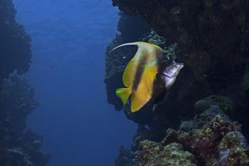 Red Sea bannerfish, Rotmeer Wimpelfisch (Heniochus intermedius)