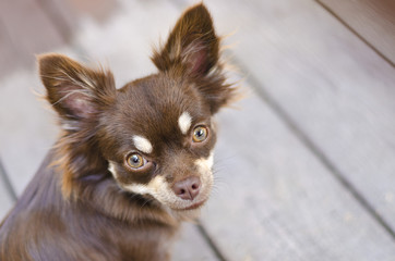 Chihuahua staring intently