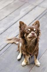 Chihuahua looking up