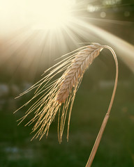 ripe wheat ears in the summer