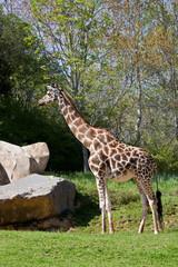 Giraffe Full Side View