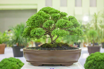 Bonsai tree Bonsai Exhibition