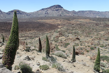 Tajinastes rojos del Teide.