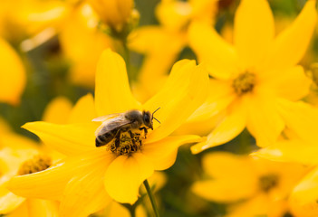 honey bee at work taking pollen from yellow flowers