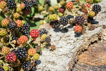 Ripening wild blackberries in the natur on a sunny day