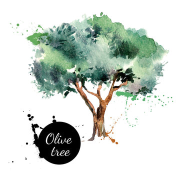 Olive tree vector illustration. Hand drawn watercolor painting