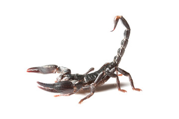 scorpion young with white background