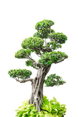 Bonsai tree, isolated over white background