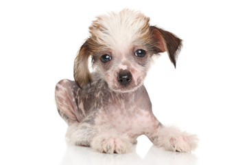 Chinese Crested puppy lying