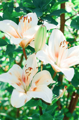 White lilies on the blurry background
