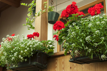 Cerca immagini fiori rossi for Gerani tirolesi