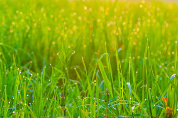 green grass covered with dew in the morning
