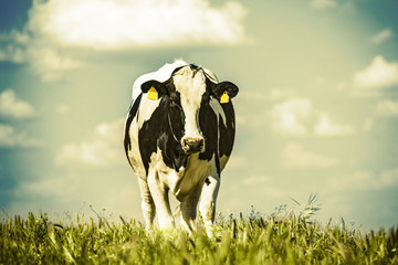 Fototapete - Dairy cow at countryside, beautiful sky in the background. Vintage style.