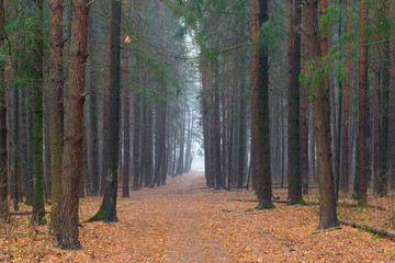 forest Alley in the autumn foggy morning