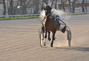 The bay trotter on the move on the racetrack