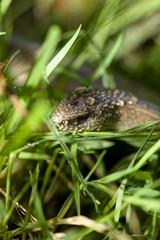Snake, nature. tree, green, summer, morning, animals, forest, photo, makro, czechsnake, czechphoto,