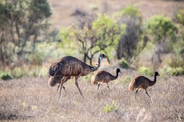 Emu Familie