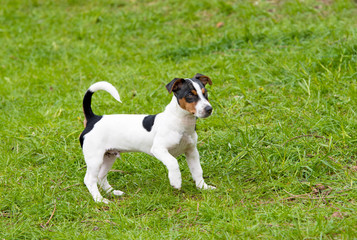 Jack Russell Terrier plays.  The Jack Russell Terrier is on the grass in the park.