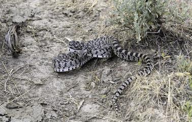 Oregon Bull/Great Basin Gopher Snake, Succor Creek, Southeastern Oregon