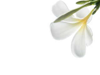 Beauty of White Frangipani or Plumeria flowers made with colorful filters.