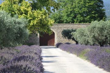 Allée d'oliviers sous le soleil de Provence
