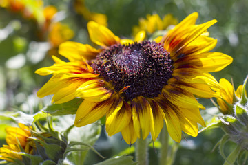 sunflowers in the garden (Helianthus)