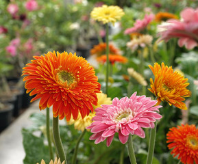 Colored gerbera flowers blooming in garden