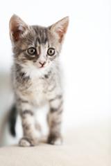 Cute gray kitten at home