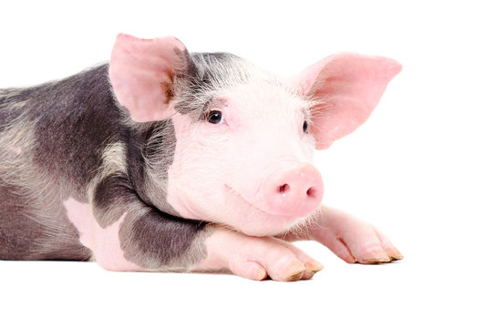 Portrait of the cute little pig