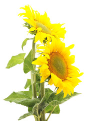 Two sunflowers.