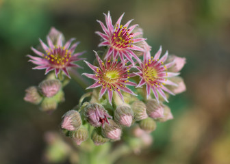 Sempervivum tectorum (Hens and Chicks) Blossom