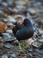 Moorhen searching for food