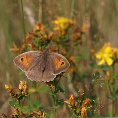 The butterfly Meadow brown (Maniola jurtina) on the flower.