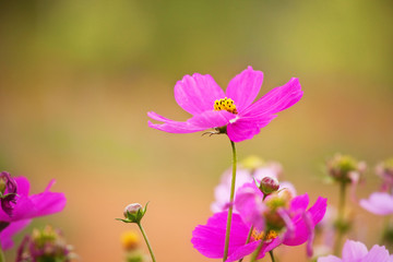 Closeup pink cosmos flower