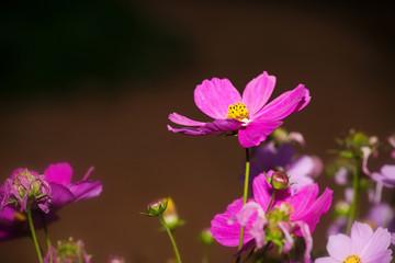 Closeup cosmos flower