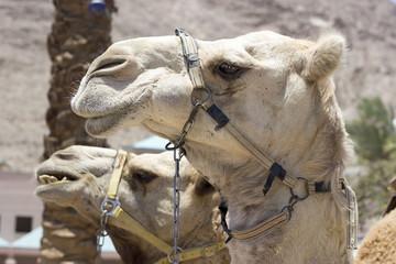 Camel against the old city of Jerusalem
